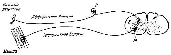 Общая схема рефлекторной дуги ее звенья фото 526