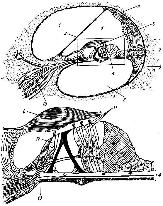 Экстерорецептор фото