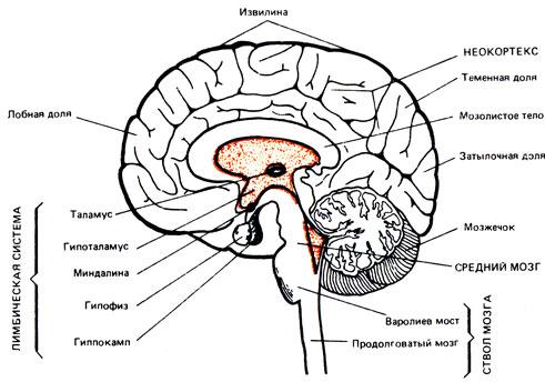 человеческого мозга,