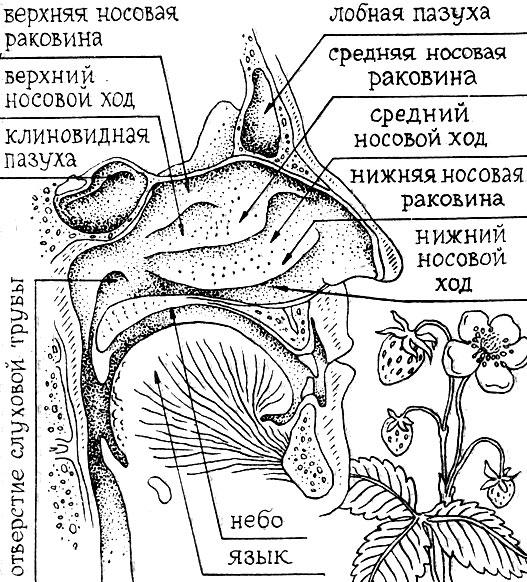 Схема строение полости носа