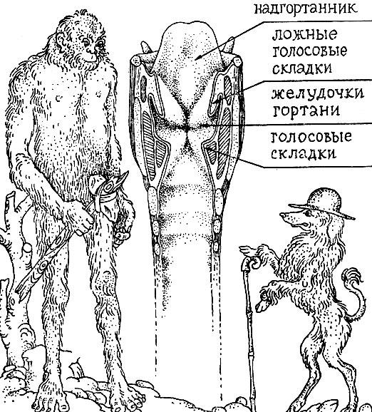 Схема строения гортани