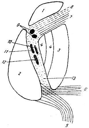 Схема внутренней капсулы.