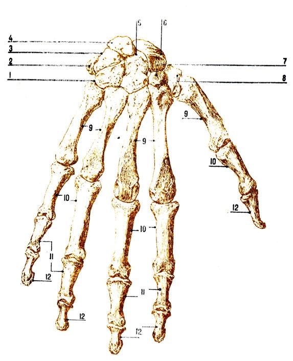 Кость Полулунная фото