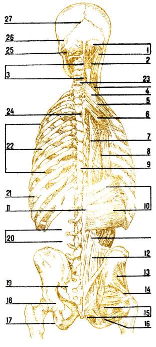 мышцы участвующие в акте дыхания