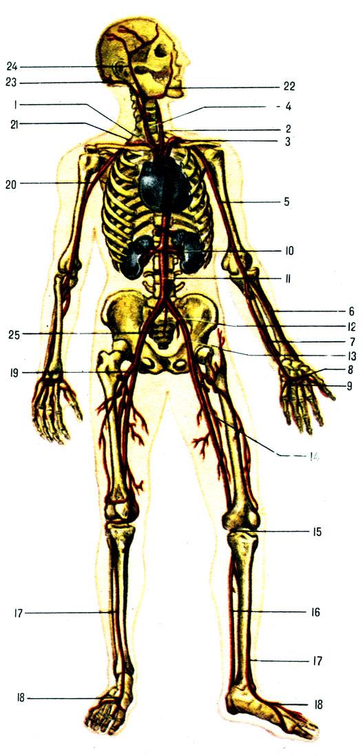 Артериальная система (схема):