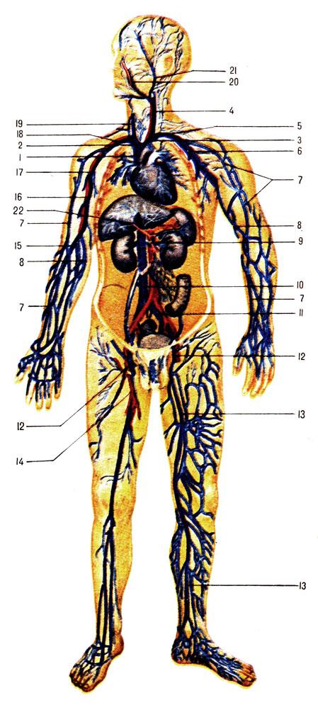 Венозная система (схема):1