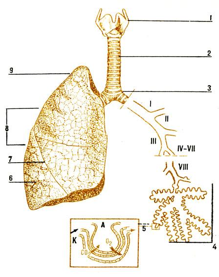 Схема органов дыхания: 1