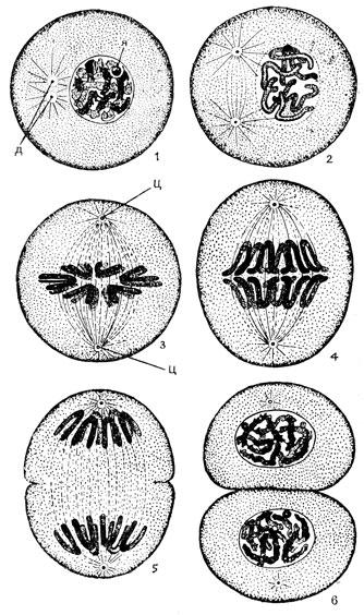 Митотическое деление клетки: 1