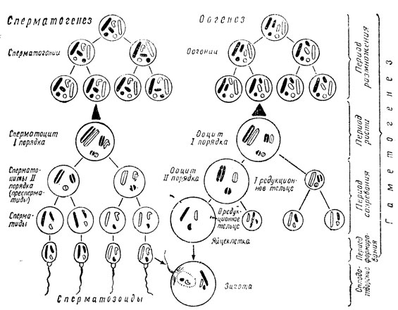 Схема гаметогенеза (из А. Г.