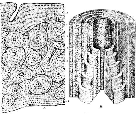 Б - схема строения остеона