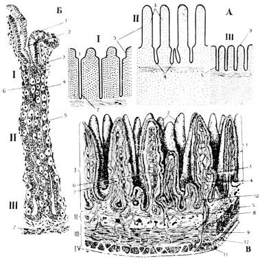 А - схема строения слизистой