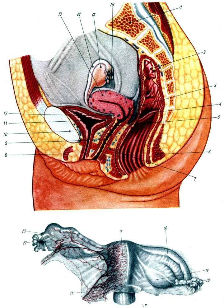 Член во влагалище оплодотворяет матку в разрезе