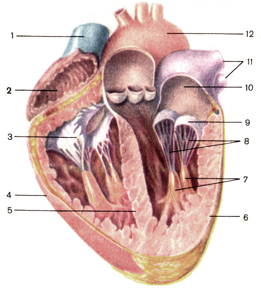 Сердце; продольный разрез.