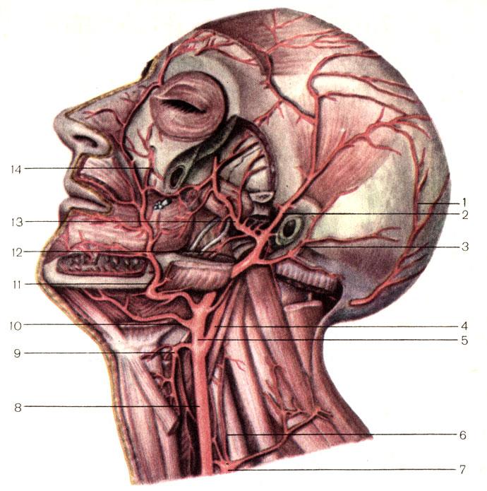 Артерии головы и шеи.