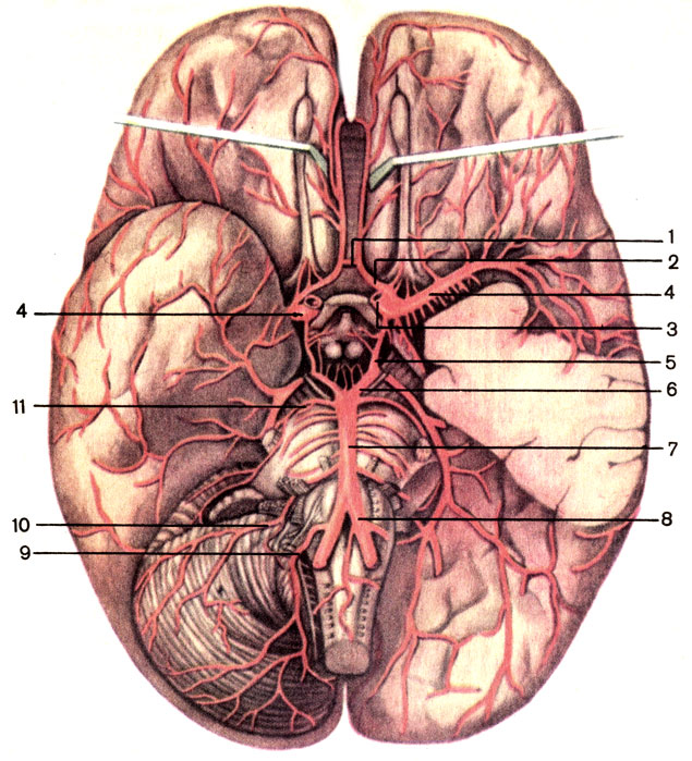 Артерии мозга.