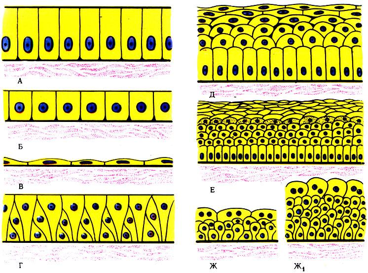 Схема строения различных видов