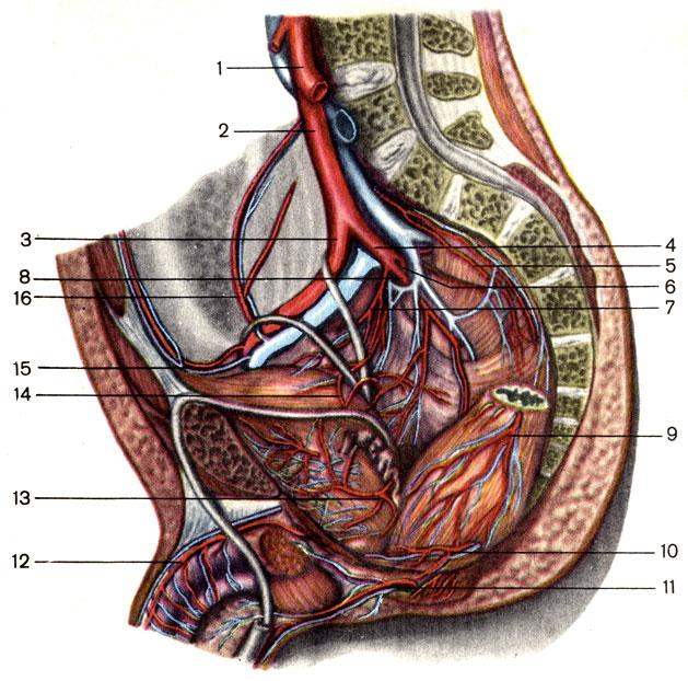 Артерии на пенисе