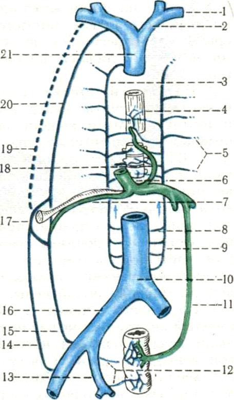 Схема анастомозов между