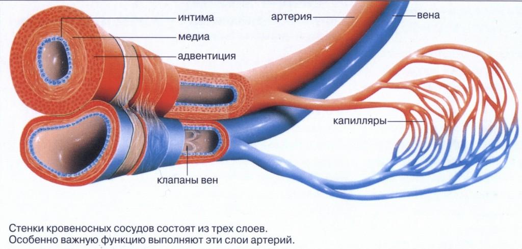 Сосуды Сосудов