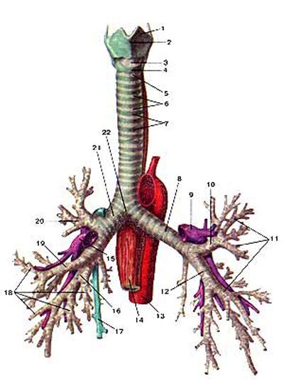 Трахея (trachea) и бронхи