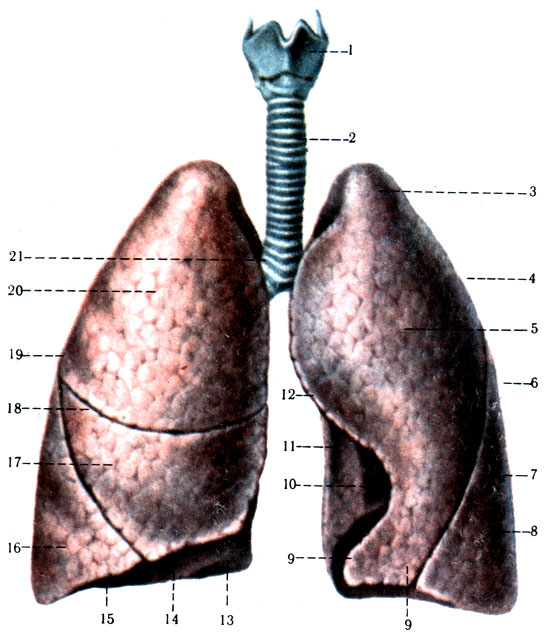 3 - верхушка лёгкого (apex