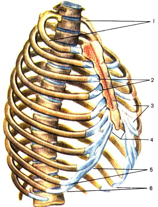 Суставы ребер анатомия история болезни перелом нижней челюсти в области суставного отростка