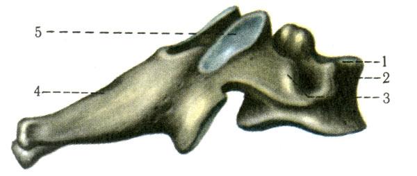 Шейный позвонок (VI). 1 - тело позвонка (corpus vertebrae); 2 - передний бугорок (tuberculum anterius); 3 - задний бугорок (tuberculum posterius); 4 - остистый отросток (processus spinosus); 5 - верхний суставной отросток (processus articularis superior) [1978 Краев А В - Анатомия человека Том 1]
