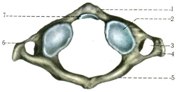 Шейный позвонок (I). 1 - передняя дуга (arcus anterior); 2 - нижняя суставная ямка (fovea articularis inferior); 3 - поперечное отверстие (foramen transversarium); 4 - поперечный отросток (processus transversus); 5 - задняя дуга (arcus posterior); 6 - рёберный отросток (processus costarius); 7 - ямка зуба (fovea dentis) [1978 Краев А В - Анатомия человека Том 1]