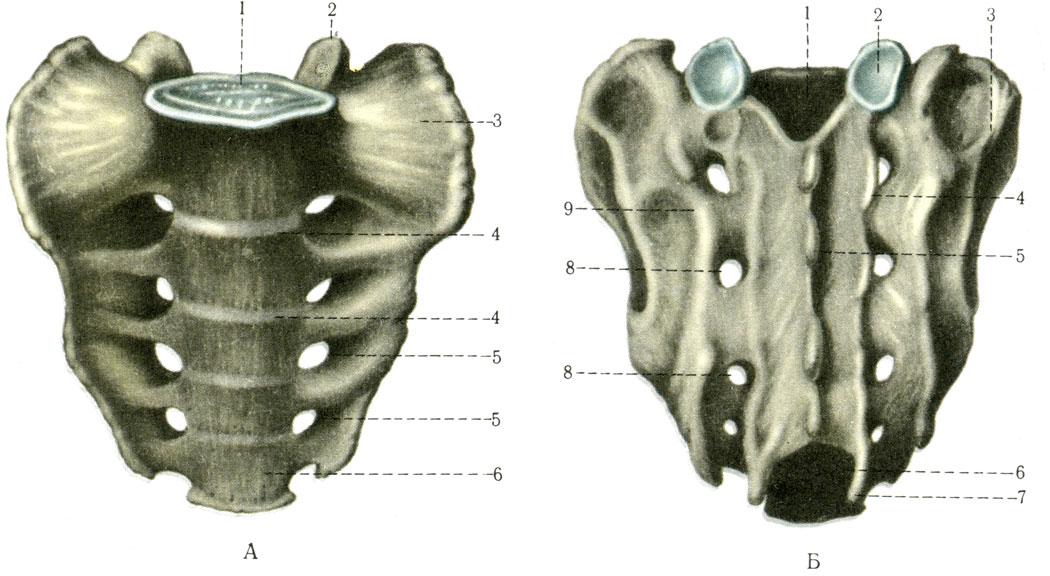 Крестец. А - вид спереди: 1 - основание крестца (basis ossis sacri); 2 - верхний суставной отросток (processus articularis superior); 3 - латеральная часть (pars lateralis); 4 - поперечные линии (lineae transversae); 5 - отверстия крестцовые тазовые (foramina sacralia pelvina); 6 - верхушка крестца (apex ossis sacri). Б - вид сзади: 1 - крестцовый канал (canalis sacralis); 2 - верхний суставной отросток (processus articularis superior); 3 - крестцовая бугристость (tuberositas sacralis); 4 - промежуточный крестцовый гребень (crista sacralis intermedia); 5 - медиальный крестцовый гребень (crista sacralis mediana); 6 - крестцовая щель (hiatus sacralis); 7 - крестцовый рог (cornu sacrale); 8 - отверстия крестцовые дорсальные (foramina sacralia dorsalia); 9 - латеральный крестцовый гребень (crista sacralis lateralis) [1978 Краев А В - Анатомия человека Том 1]