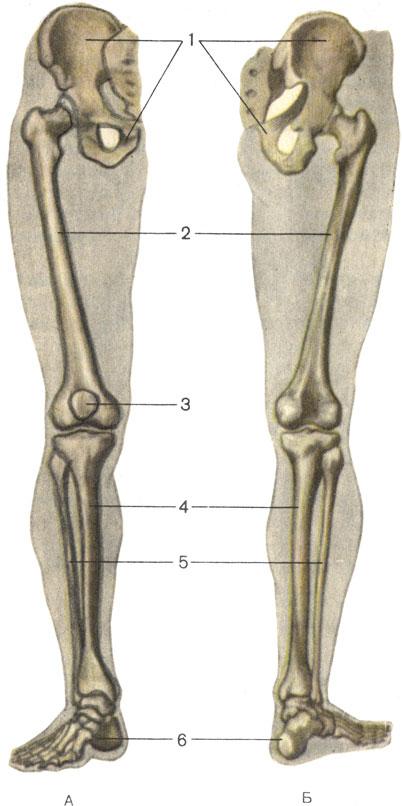 к костям пояса нижних конечностей относятся