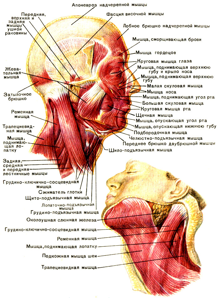 Мышца шилоподъязычная
