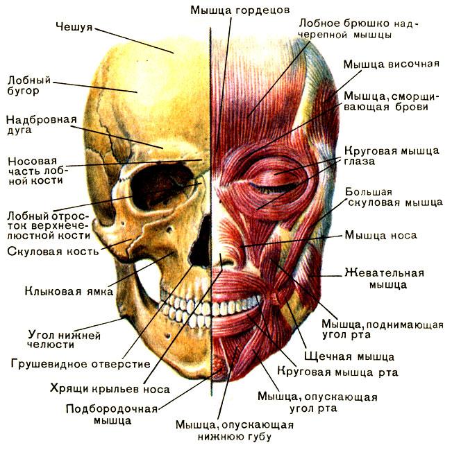 Череп и мимические мышцы [1979
