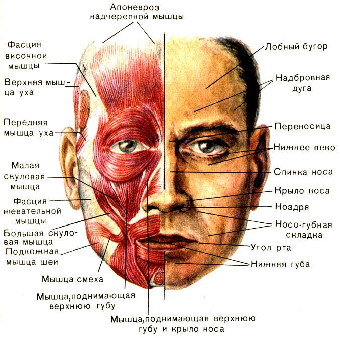Мимические мышцы и покровы