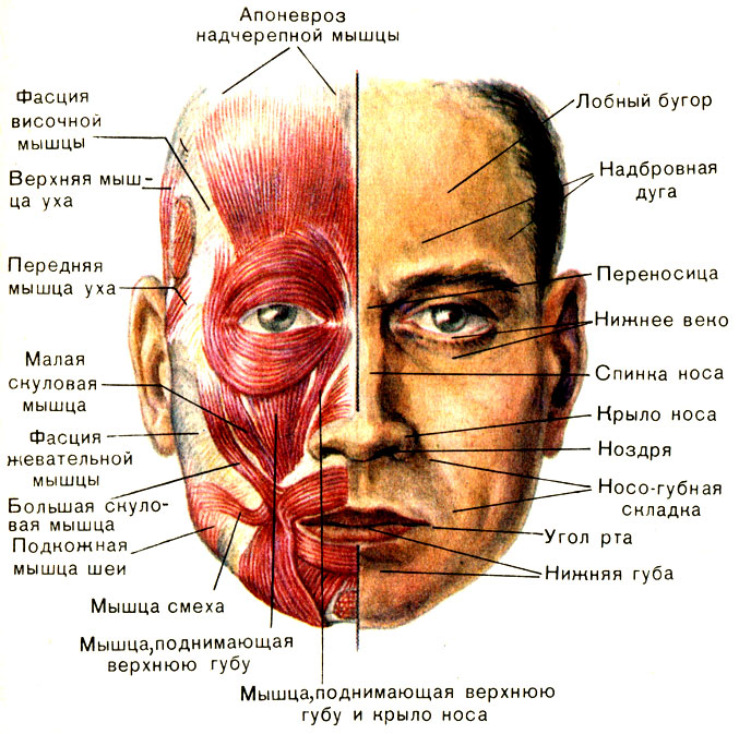Мышца жевательная фото