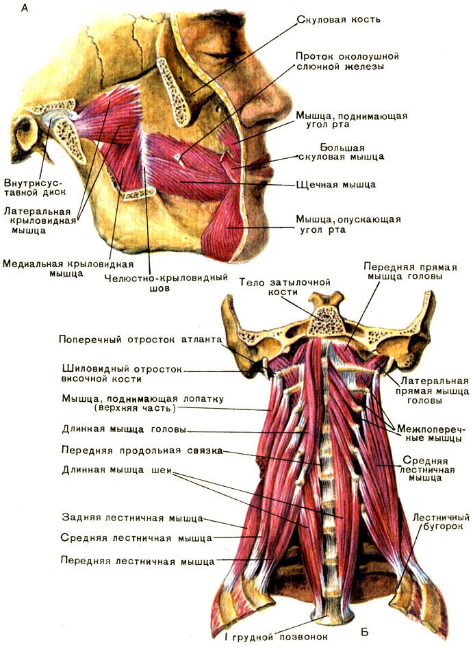Мышца шилоподъязычная фото