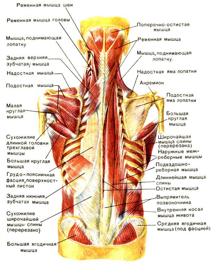 Мышцы межреберные