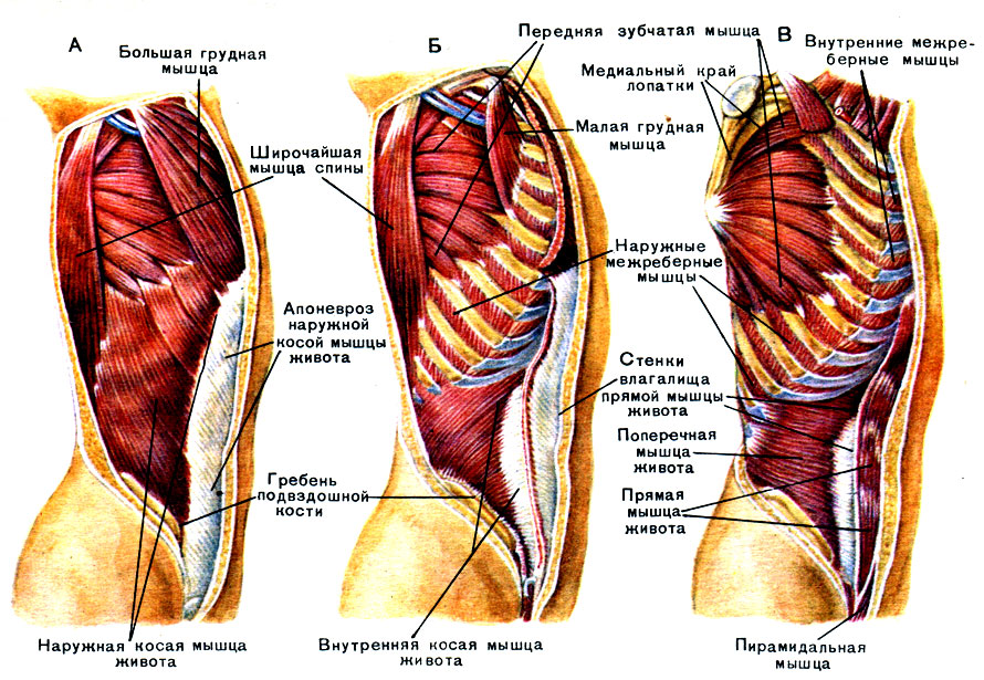 Мышца прямая