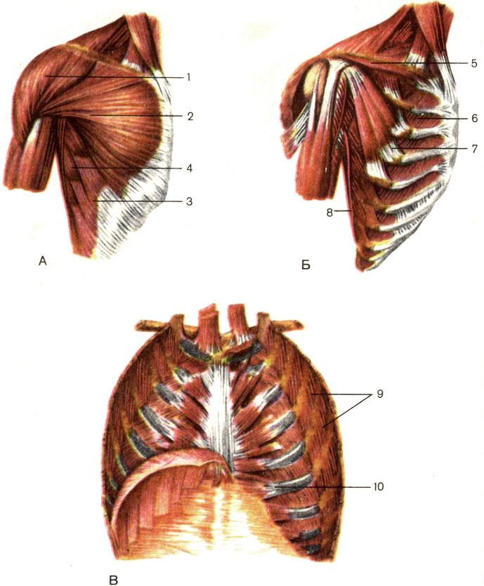 Мышца