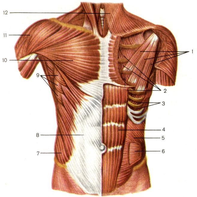 Мышца прямая фото