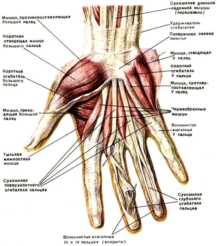 Правая рука мышцы схема