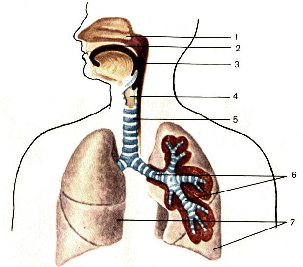 Органы дыхания (схема).