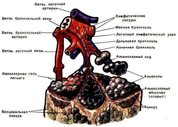 Схема дольки лёгкого [1979