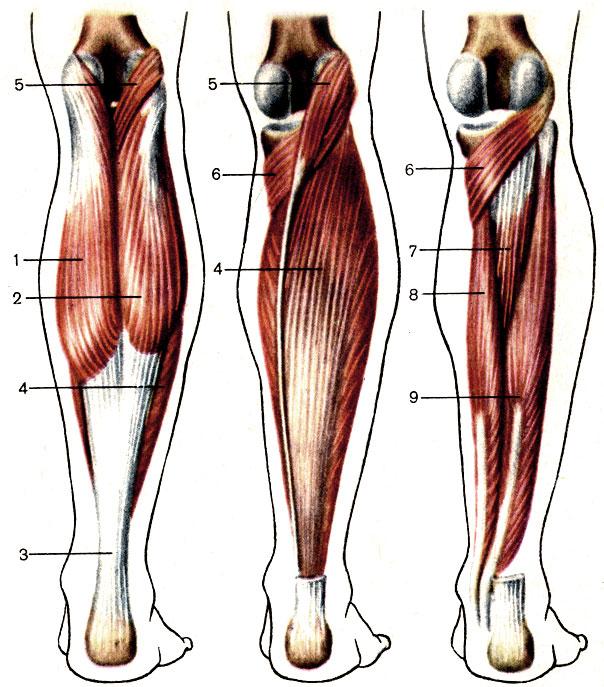 Мышца фото