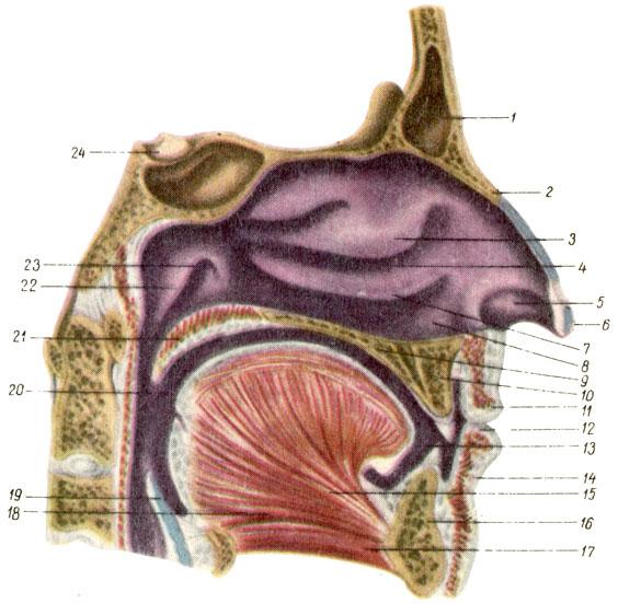 Полость носа (левая половина).