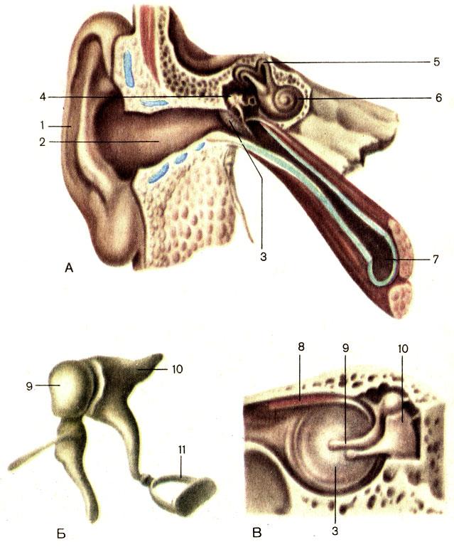 2 - наружный слуховой