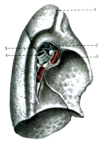 1 - верхушка лёгкого (apex