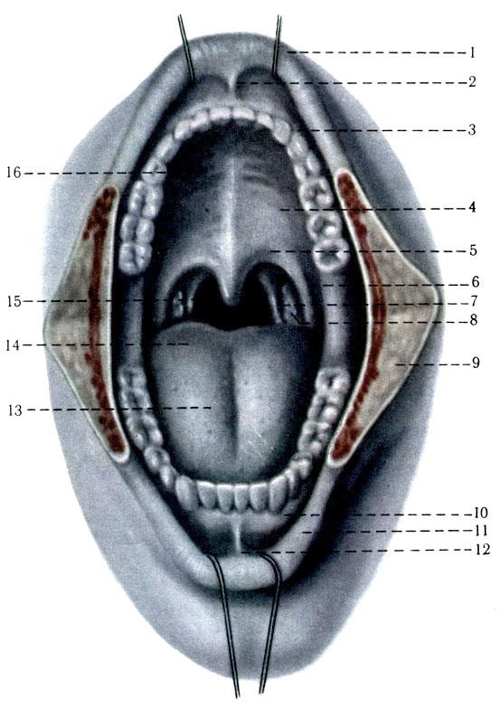 Кольцо Вальдейера