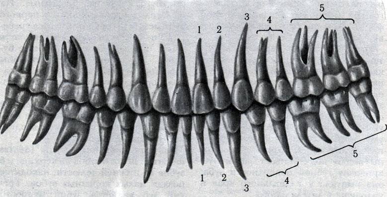 Зубы большие коренные зубы человека